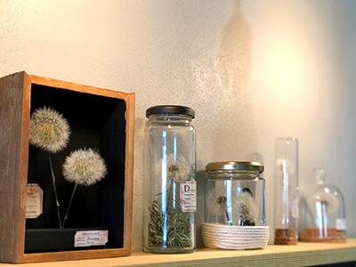 たんぽぽ綿毛の植物標本